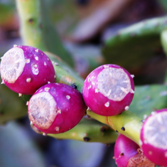 Arizona Cactus Ranch | 100% Pure, Concentrated, Natural Prickly Pear